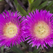 Carpobrotus edulis — Stock Photo
