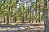 Maritime pine forest — Stock Photo