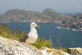 Seagull Larus cachinnans — Stock Photo