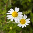 Stock Photo: Chamomile maritime