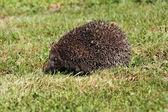 Hedgehog3 — Стоковое фото