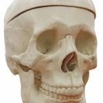 Постер, плакат: Skeleton skull