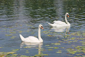 2 つの白い白鳥 — ストック写真