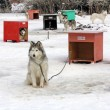 Stock Photo: Sled dog team3