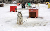 Sled dog team3 — Stock Photo