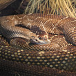 Black tailed rattlesnake — Stock Photo
