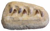 Mosasauro denti fossili — Foto Stock