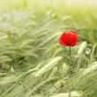 Poppy flowers — Stock Photo #26049243