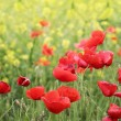 Field poppies — Stock Photo