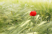 Mohn Blumen — Stockfoto