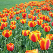 Many tulips — Stock Photo
