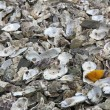 Stock Photo: Remains oysters