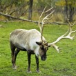 Stock Photo: Caribou