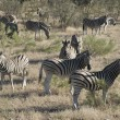 Zebras — Stock Photo #12890043