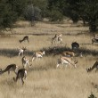 Stock Photo: Antilopes