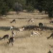 Antilopes — Stock Photo