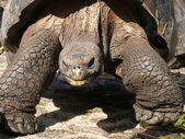 Galápagos Giant Tortoise — Stock Photo