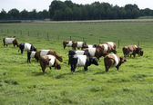Grazing cattle — Stock Photo