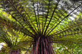 Tree fern (Dicksonia squarrose) — Stock Photo