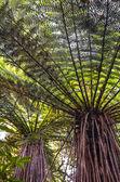Tree fern (Dicksonia squarrose) — Stockfoto
