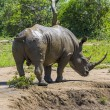 Wild rhinoceros — Stock Photo
