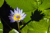 Blue cape water lily — Stock Photo