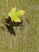 The last one - alone leaf on tree background (bark) — Stock Photo