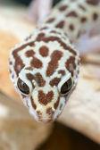 Leopard gecko — Stock Photo