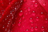 Rose drops background — 图库照片