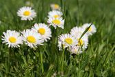 Close-up of daisy flower growing in green grass. — Stock Photo