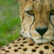 Cheetah Portrait, (Acinonyx jubatus) looking straight at camera — Stock Photo