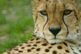 Cheetah Portrait, (Acinonyx jubatus) looking straight at camera — Stock Photo