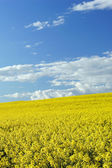 Yellow oilseed rapeseed and the blue sky — Stock Photo