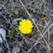 Dandelion — Stock Photo #13903109