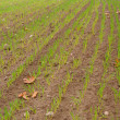 Green filed of winter grain crops for backgrounds - Stock Photo