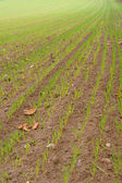 Green filed of winter grain crops for backgrounds — Stock Photo