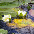 Water lily — Stock Photo #14040952