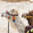 Portrait of two camel in harness - Foto Stock