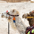 Portrait of two camel in harness - Stok fotoğraf