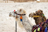 Portrait of two camel in harness — Stock Photo