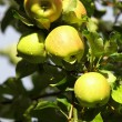 Ripe, beautiful apples on the branches of apple tree - Stock Photo