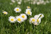 Close-up of daisy flower growing in grass — Stock Photo