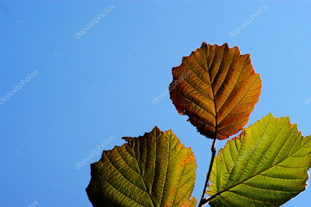лист лещины