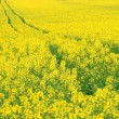 Yellow oilseed rape scenery - Stock Photo