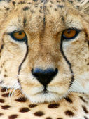 Cheetah (Acinonyx jubatus) looking — Stock Photo
