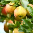 Stock Photo: Red apples on apple tree branch