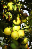 Ripe, beautiful apples on the branches of apple tree — Stock Photo