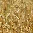 Wheat — Stock Photo #17668471
