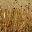 Wheat — Stock Photo #17668495