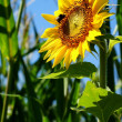 Sunflower with a leaf - clear summer blue sky. - Stock Photo